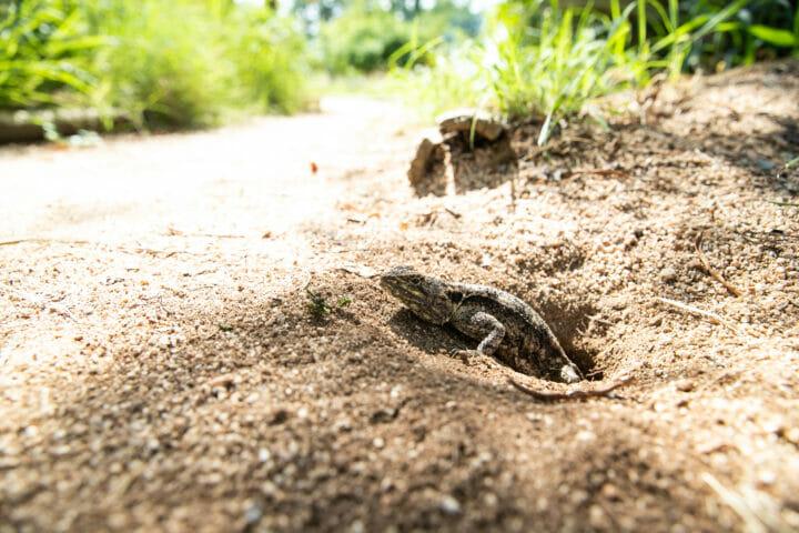 Agama Reptile Lizard 2