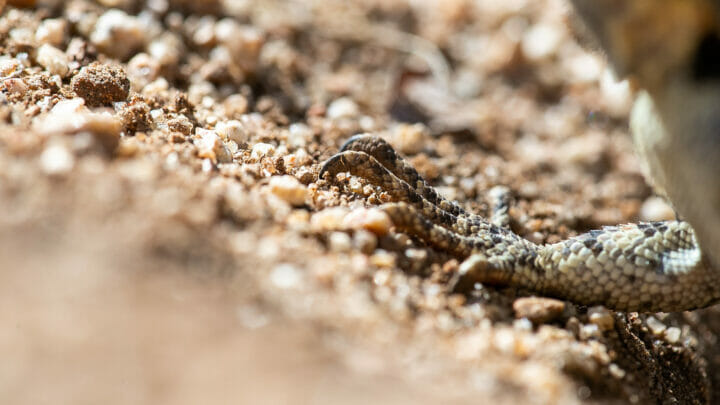 Agama Reptile Lizard 3