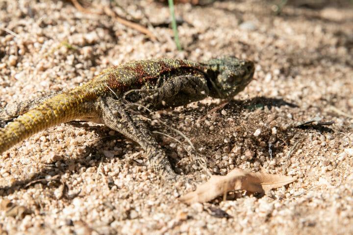 Agama Reptile Lizard 6