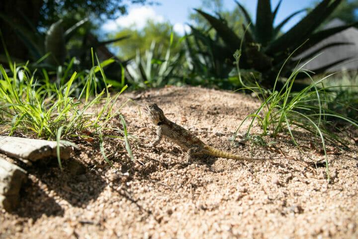 Agama Reptile Lizard 7