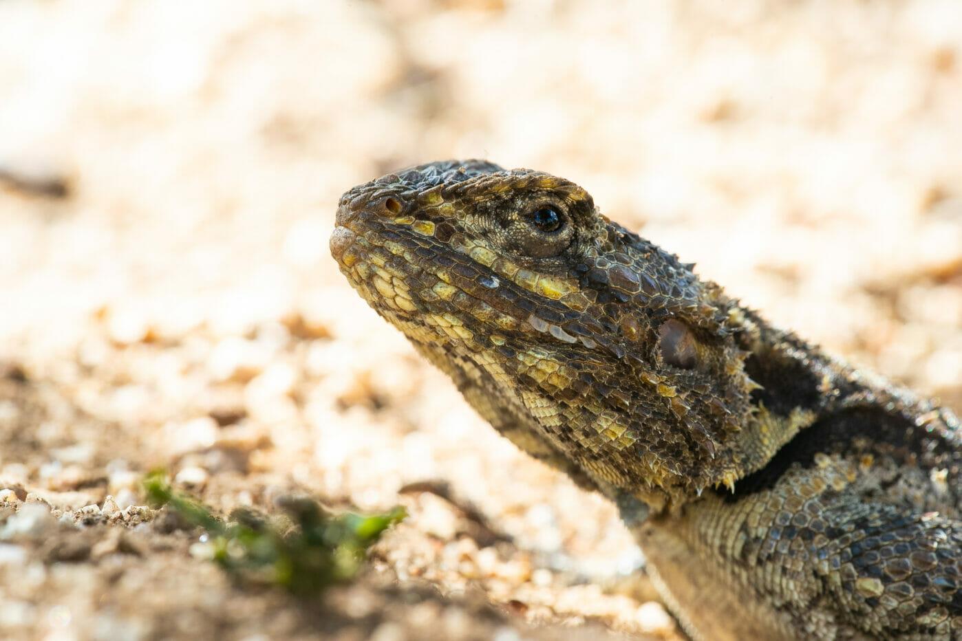 Agama Reptile Lizard