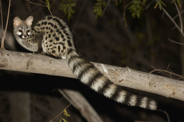 Small Spotted Genet, Richtersveld, South Africa