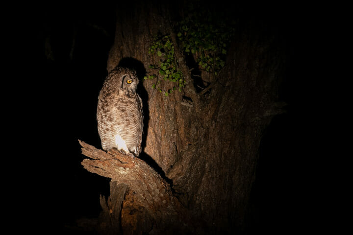 Spotted Eagle Owl Bird
