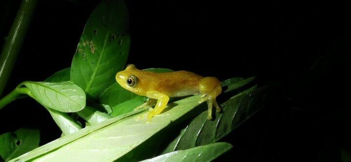 Golden Leaf-folding Frog