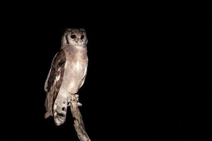 Giant Verreaux's Eagle Owl