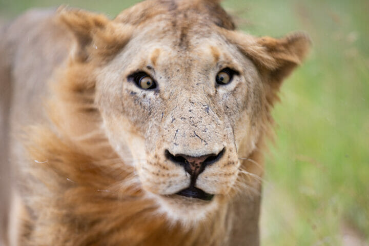 Lion Shake Head