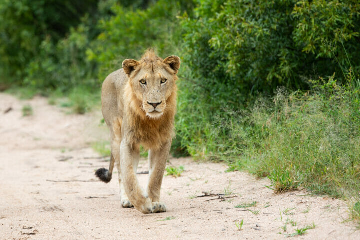 Styx Young Male Lion