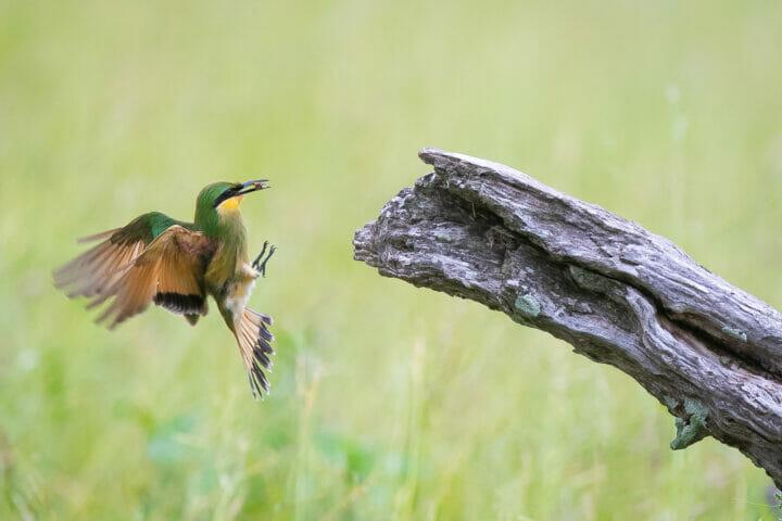 Little Bee Eater Bird
