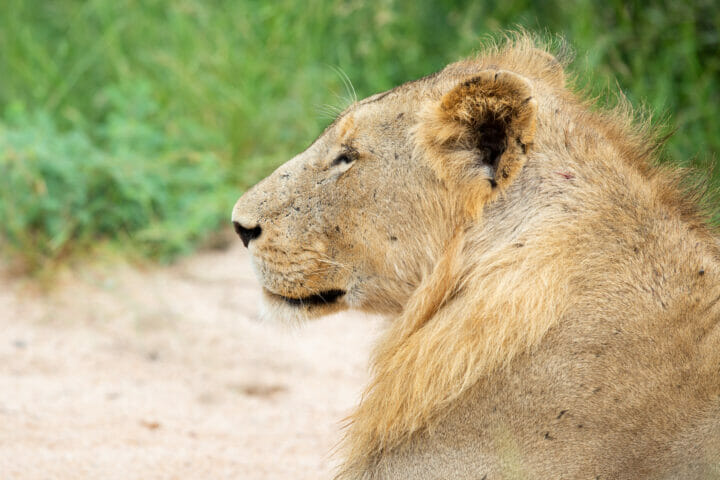 Styx Male Lion