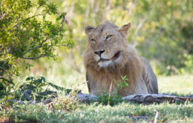 Styx Male Lion 2