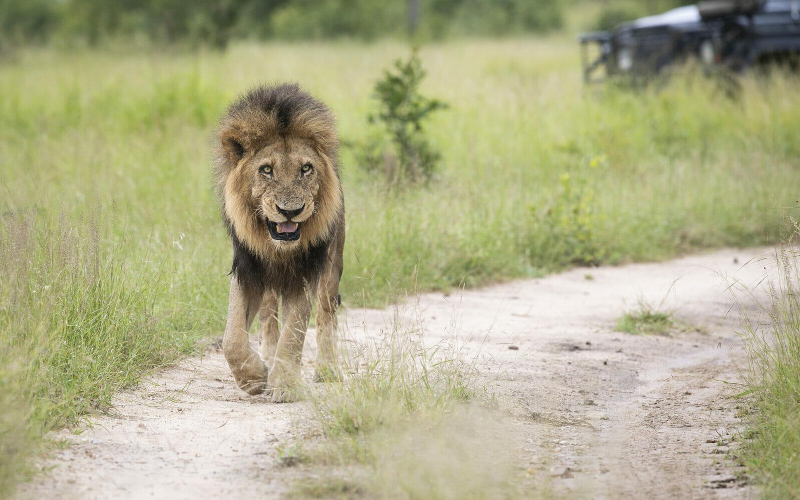 Birmingham Male Lion Grimace