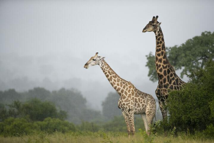 Giraffes Rain