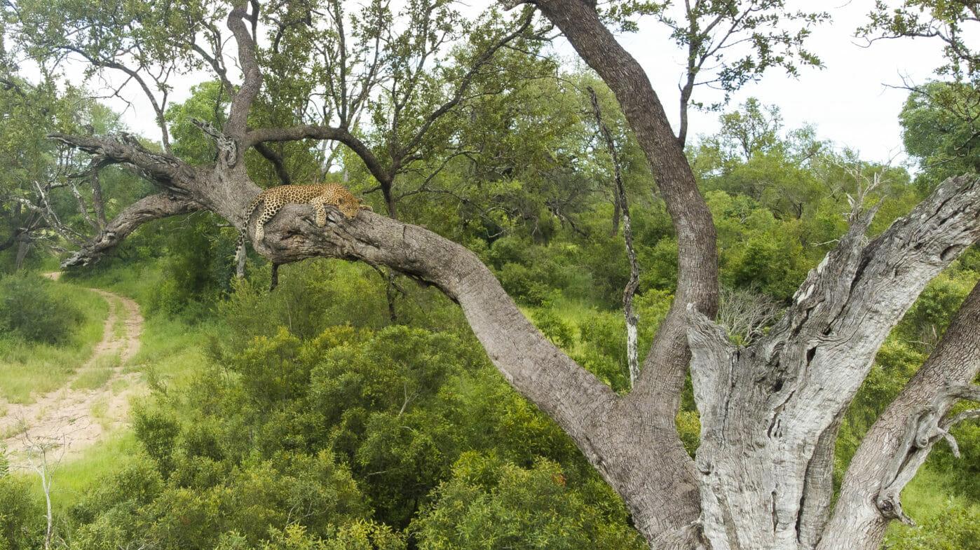 Leopard Leadwood 2