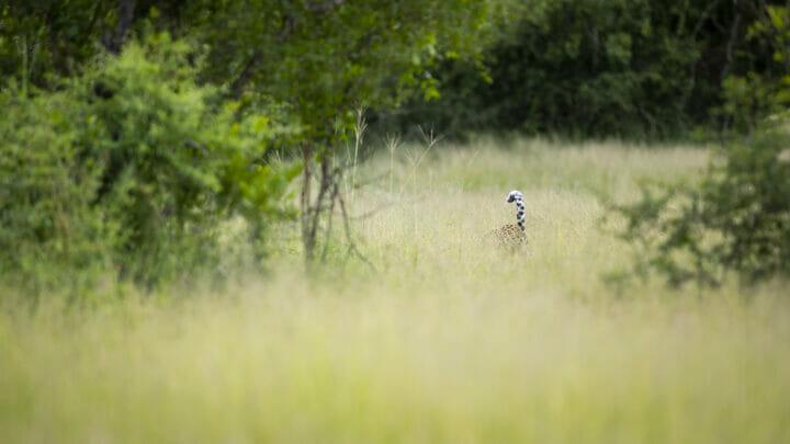 Leopard Tail Grass