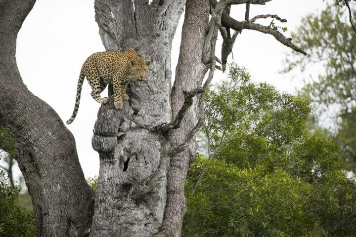 Mashaba Leopard Leadwood