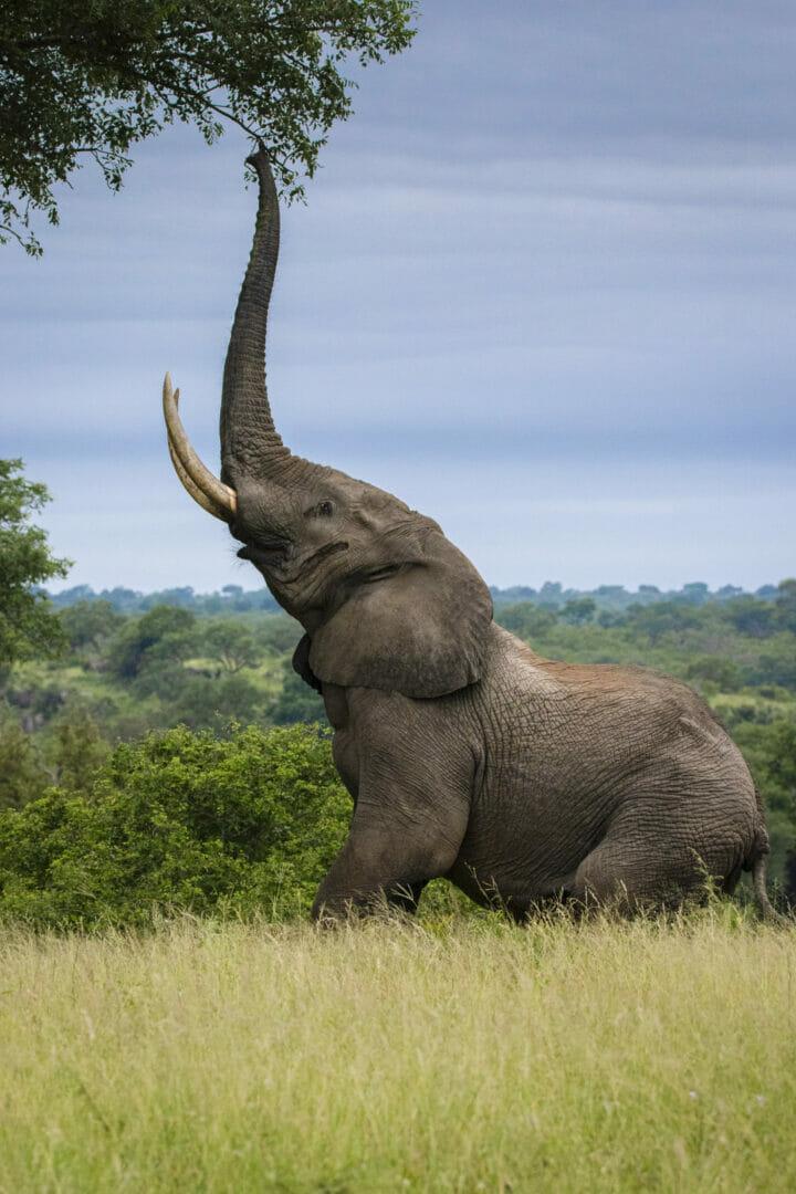 Elephant Marula 2