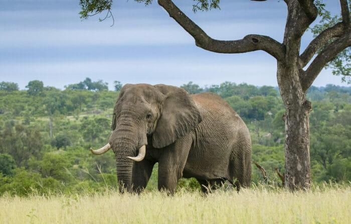Elephant Marula 3