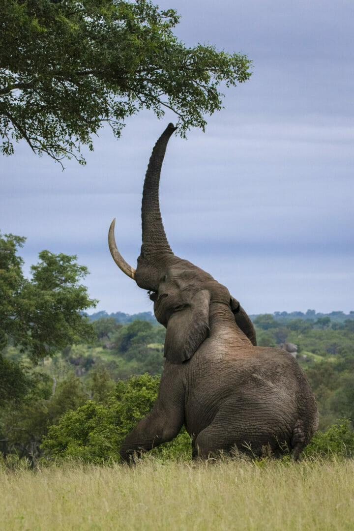 Elephant Marula