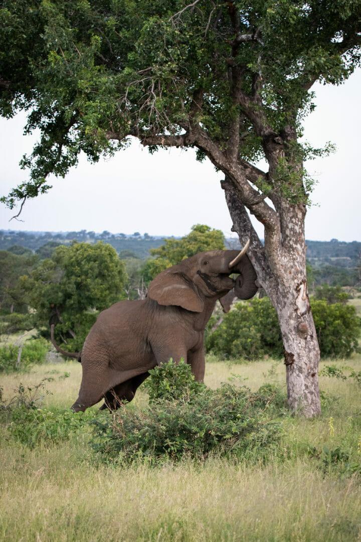 Elephant Shaking Marula