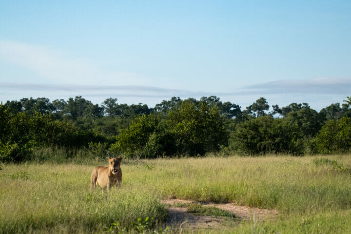 Ntsevu female in grassland