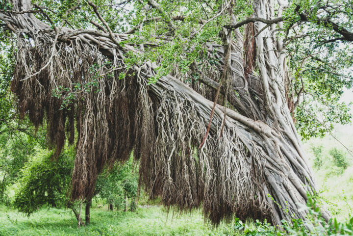 Londolozi Grounding And Earthing Trees A Ritchie 8969