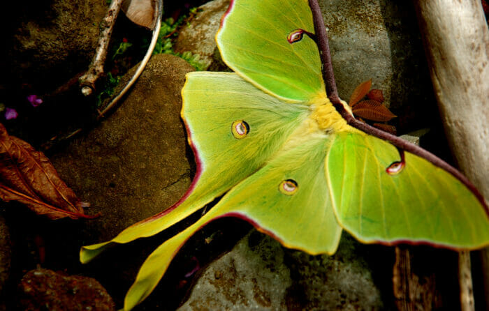 An Arkansas Luna Moth