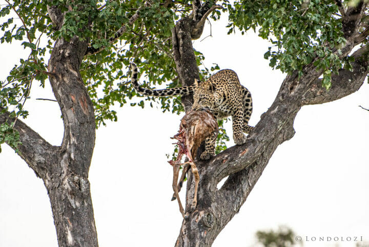 Leopard In Tree & Hyena A Ritchie 16