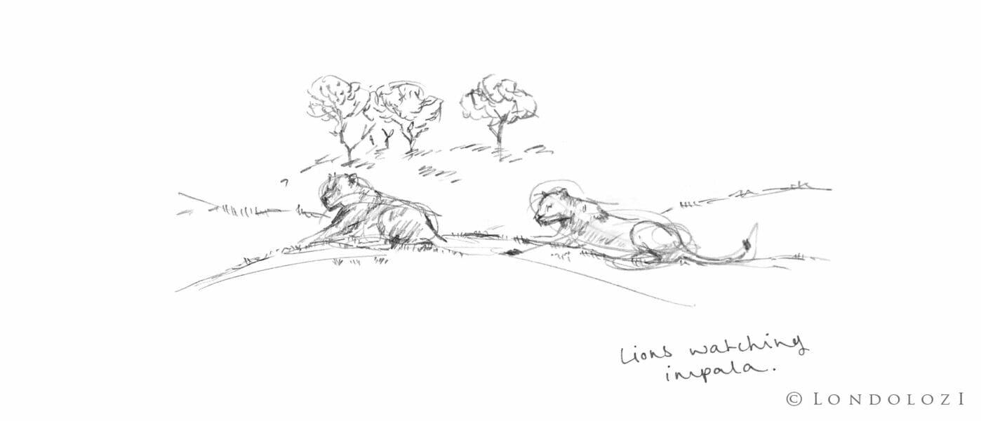 Sketch Lions Rb