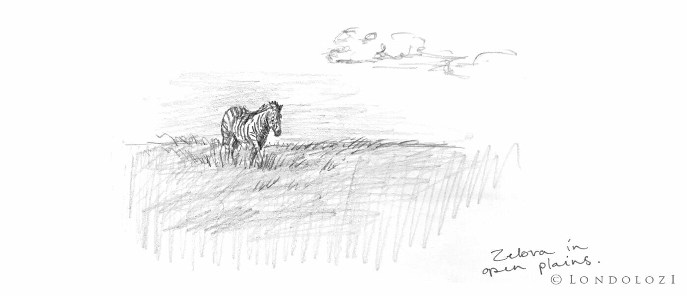 Sketch Zebra Rb