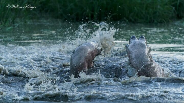 09 Hippo Legs