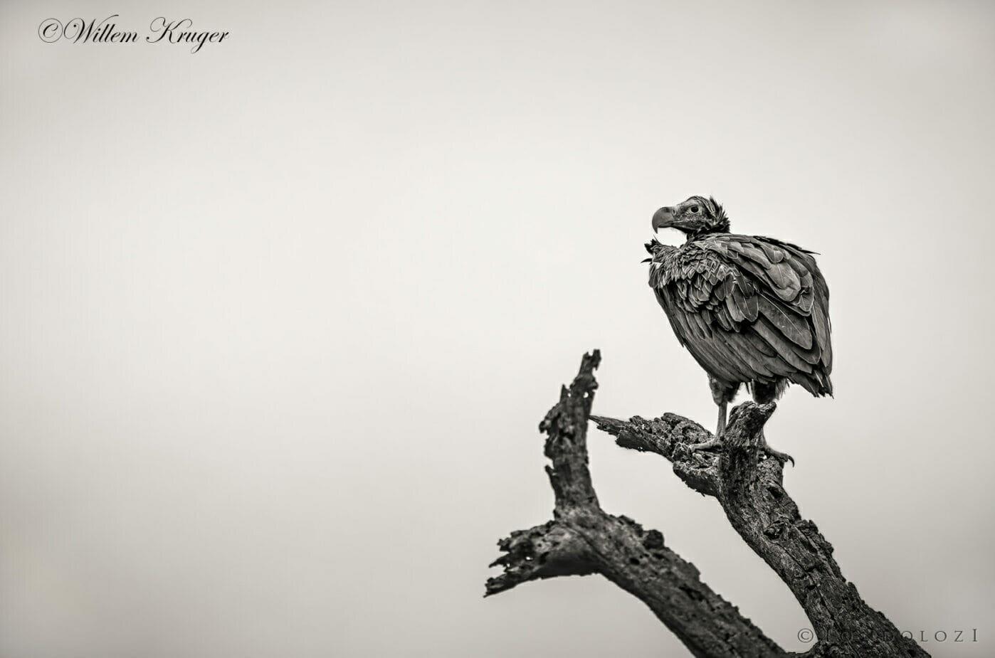 11 Vulture