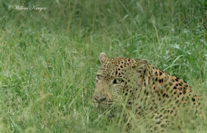 12 Leopard Max In Grass