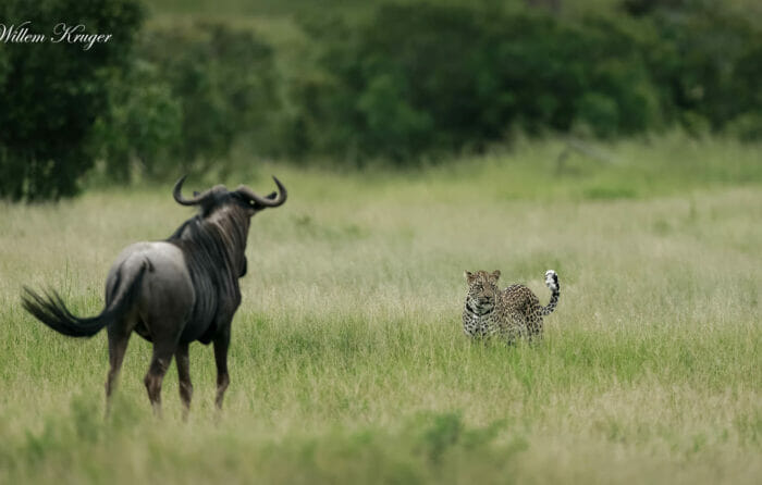 14 Leopard And Wildebeest