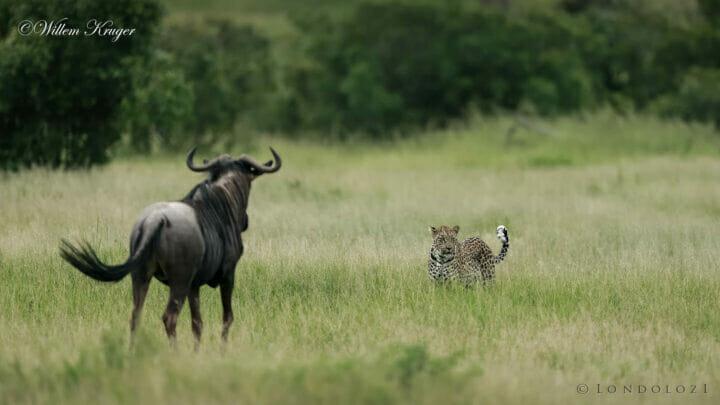 14 Leopard And Wildebeest