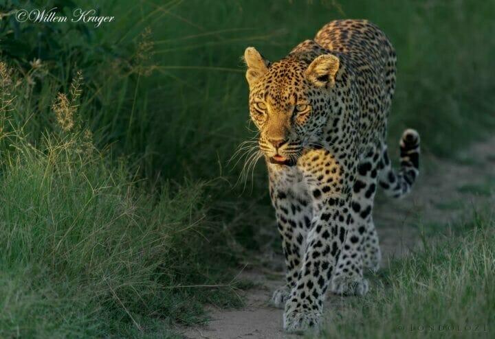 15 Leopard Sidelight