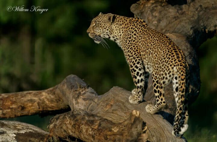 16 Leopard On F Trunk