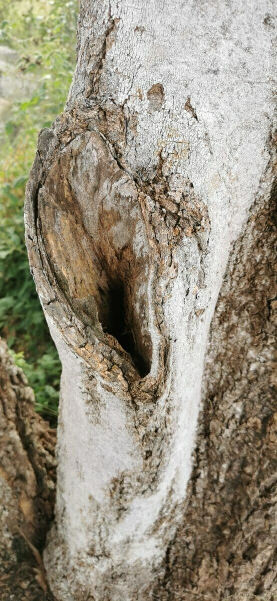 Shepherd's Tree Bark