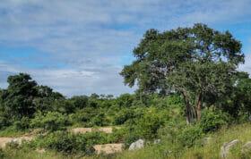 Shepherds Tree