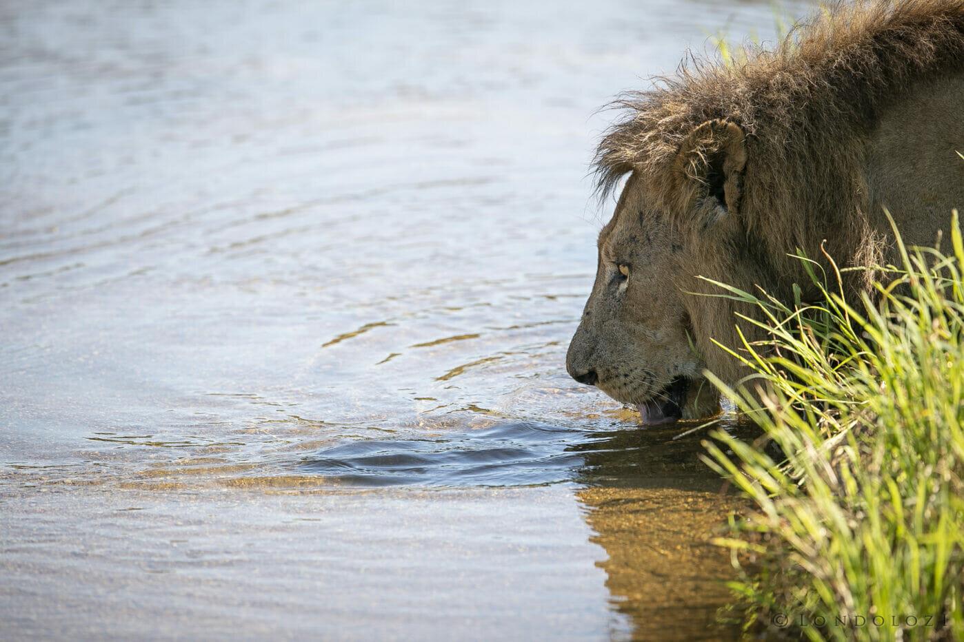 Avoca Lion Drink