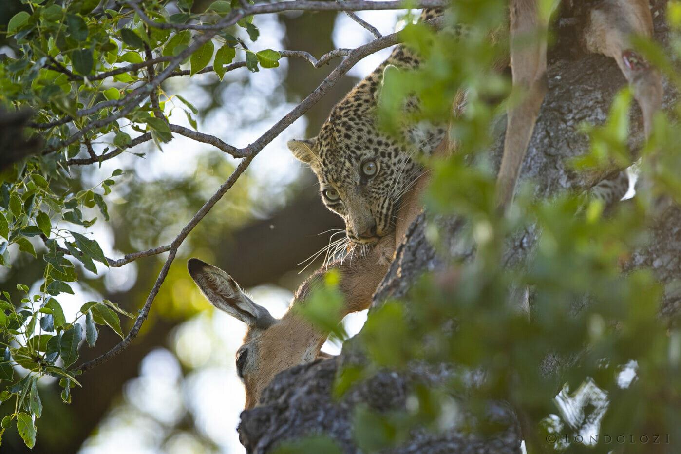 Nanga Leopard Impala Kill