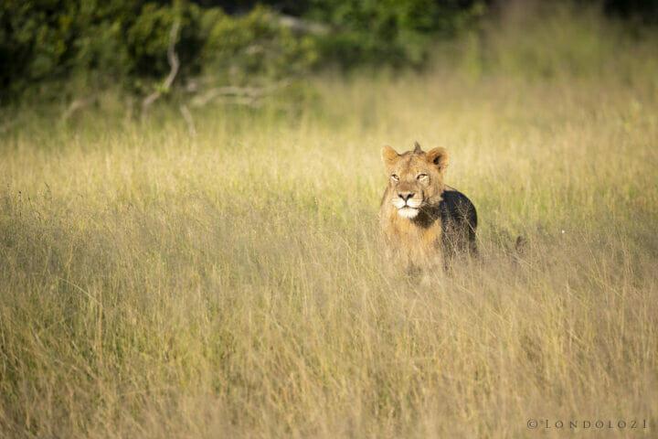 Ntsevu Lion Grass