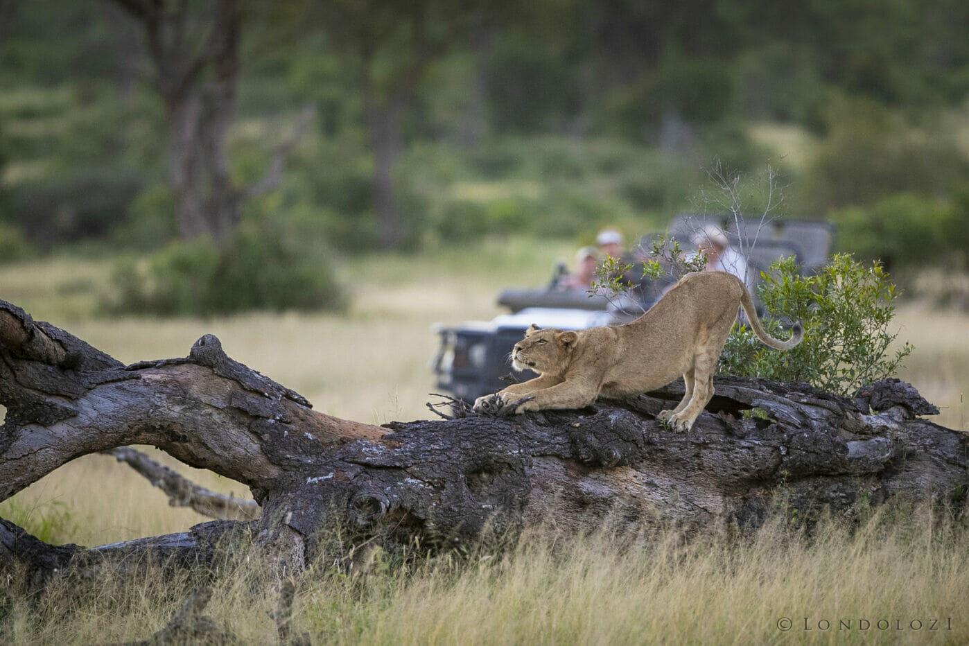 Ntsevu Lion Stretch Land Rover