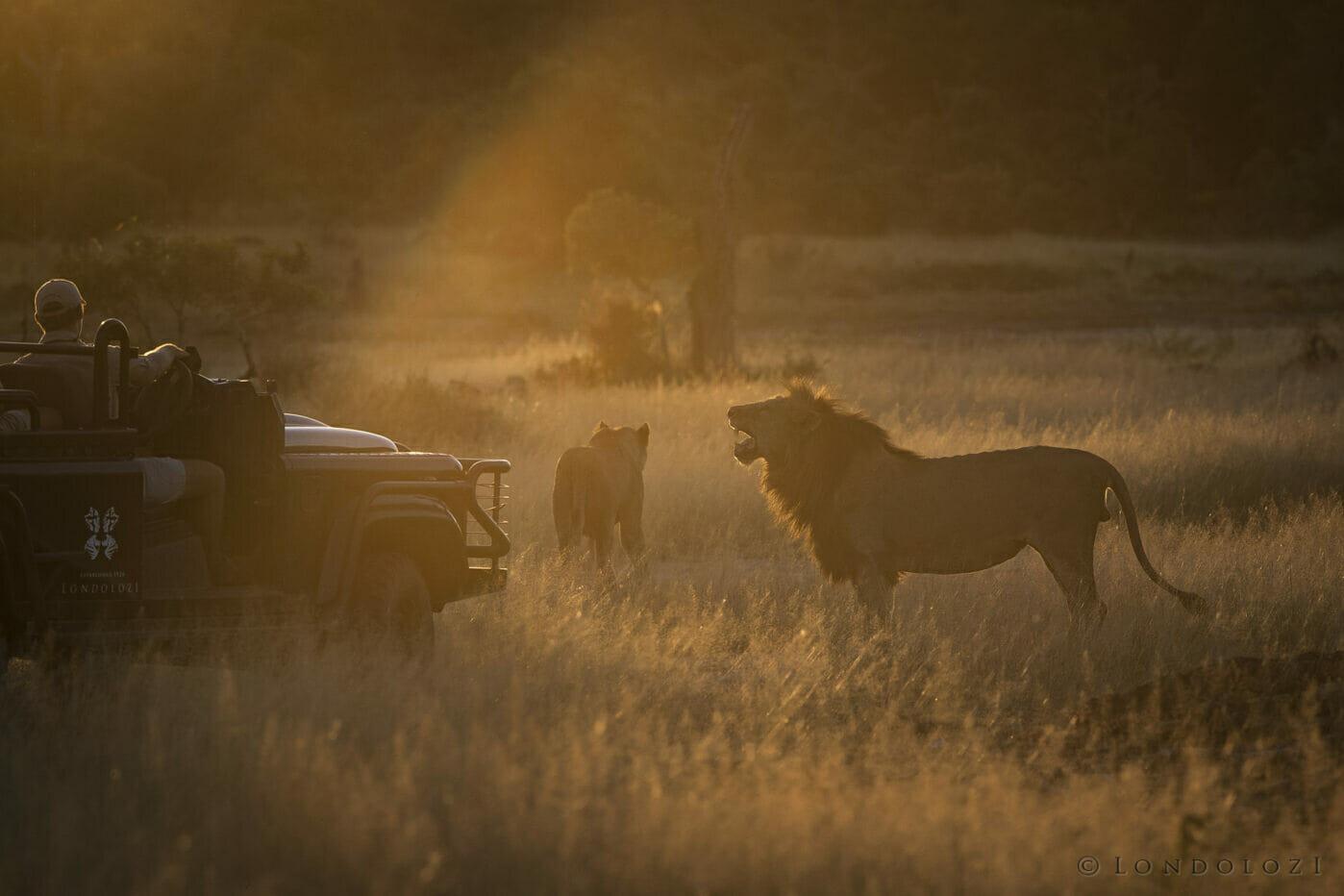 Sunset Ntsevu Golden Grass Birmingham Lion Land Rover