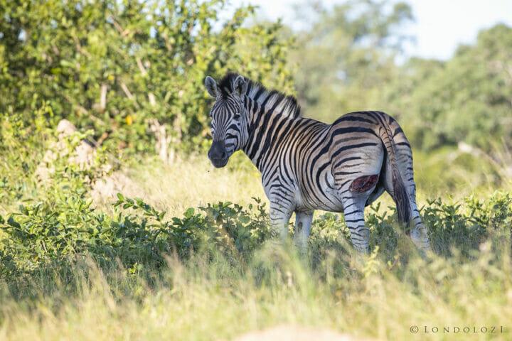 Zebra Injury