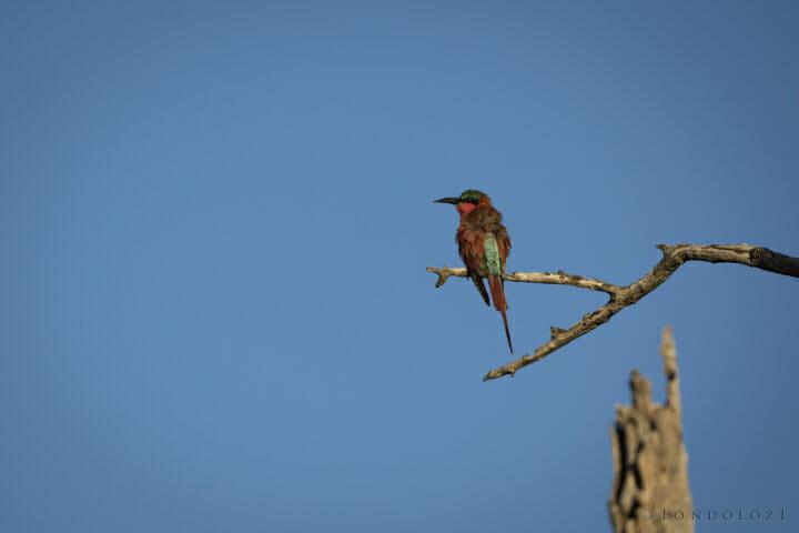 Carmine Bee Eater Bird