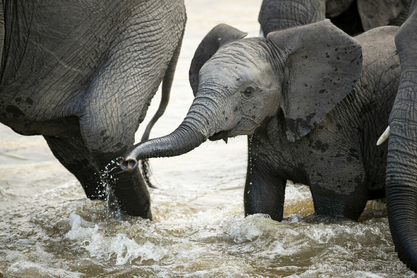 Elephant Calf Herd River