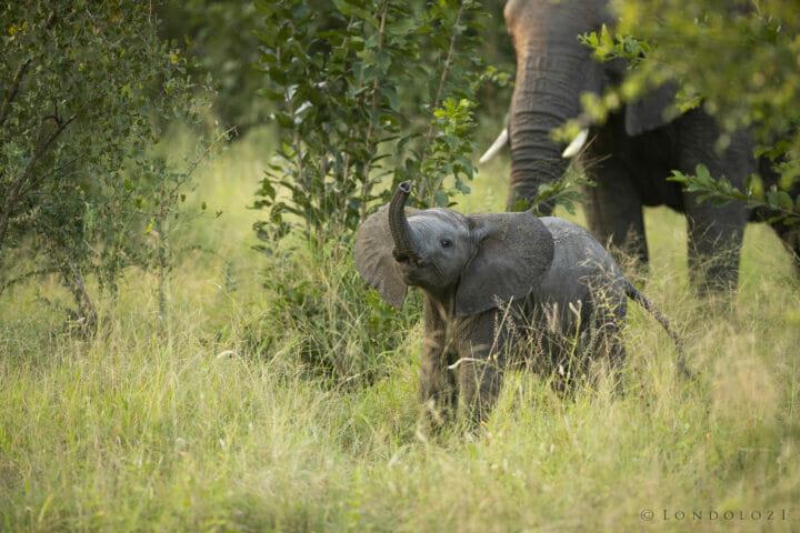 Elephant Calf Trunk