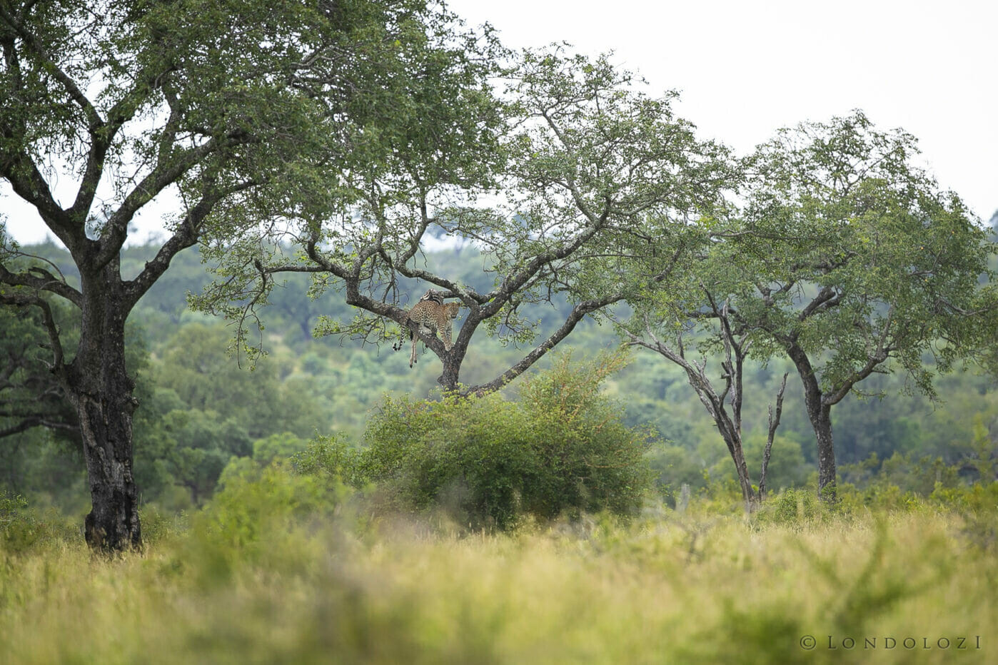 Mawelawela Leopard