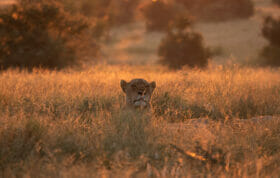 Lioness At Dawn Ns