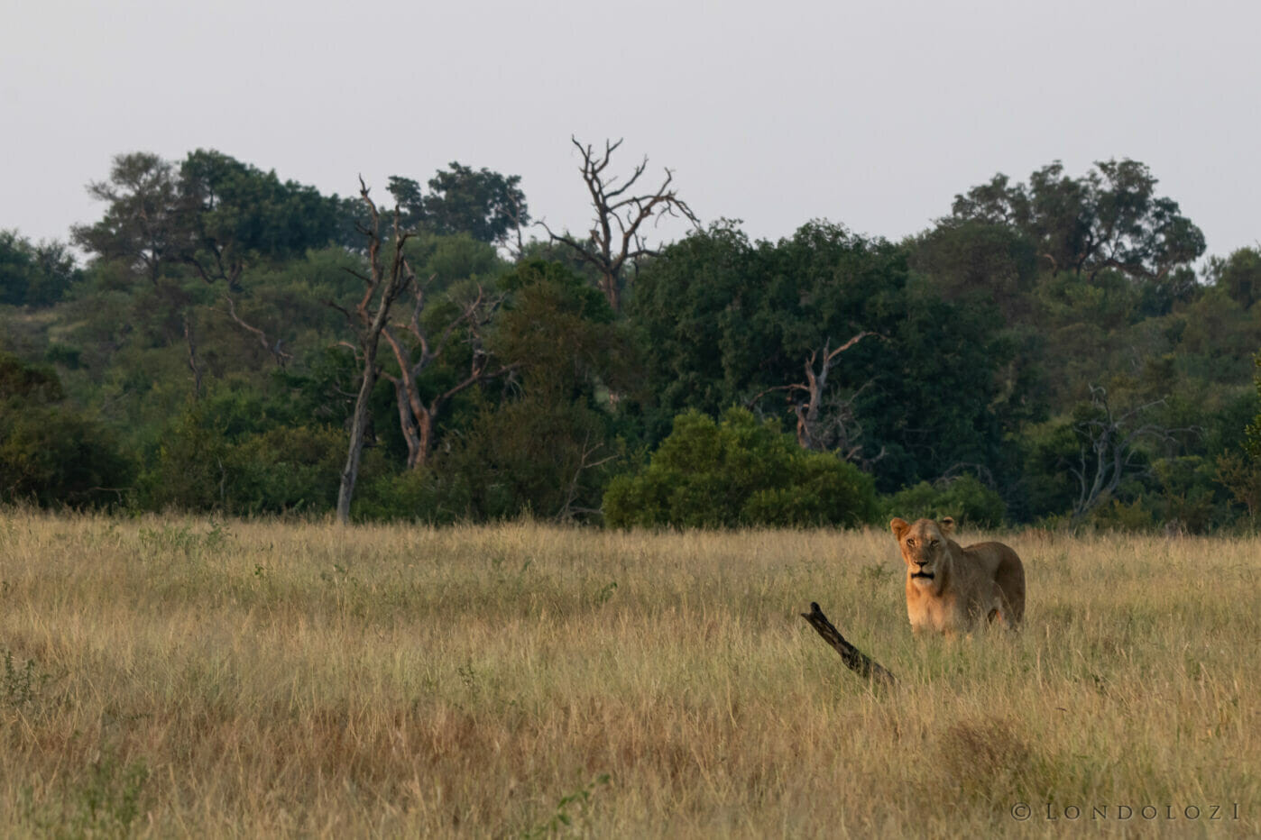 Lioness In Clearing Ns
